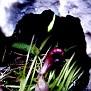 Aristolochia microstoma (14)