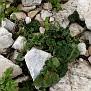 Aristolochia microstoma (15)