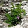 Aristolochia microstoma (7)