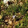 Moraea mediterranea, Gynandriris monophylla (2)