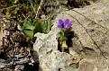Campanula drabifolia (3)