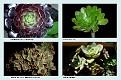 Crassulaceae  (1)