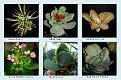 Crassulaceae  (7)