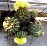 Notocactus  (14)