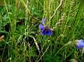 Geranium pratense (3)