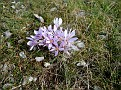Colchicum cupanii (6)