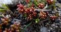 Sedum caespitosum (4)