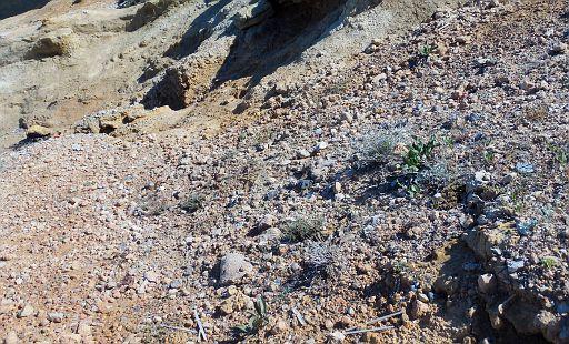 Limonium roridum Limonium athinense habitat