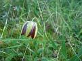 Fritillaria graeca (7)