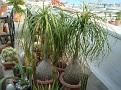 Beaucarnea recurvata (2)