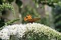 vlinder120706 008