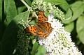 vlindervervolg120706 005