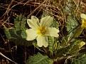 9495-First-wild-primrose-of