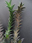 Haworthia viscosa fa. variegata