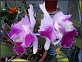 such gorgeous orchids