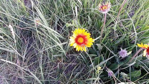 Blanket flower (Gaillardia) - June 21 - Bowmont Park - JT