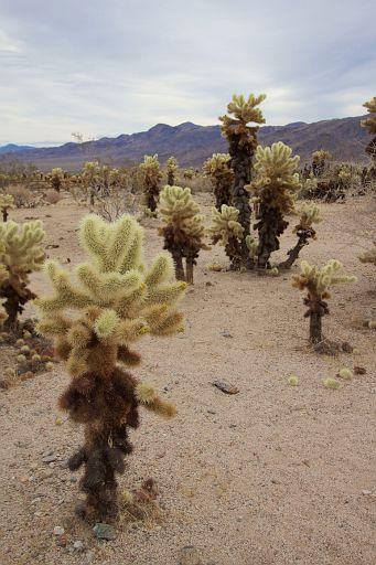 teddybear cholla cactus