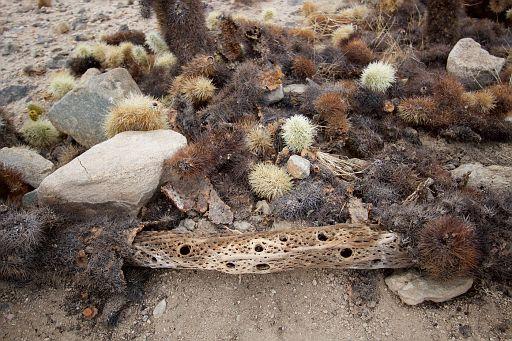 desert mice live here