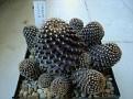 Copiapoa tenuissima cluster