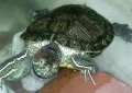 my turtel Stapa