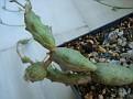 Euphorbia globosa