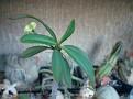 Euphorbia milii var tenuispina