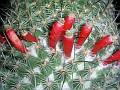 Mammillaria huitzilopochtli ssp. niduliformis - L1495