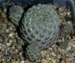 Rebutia ' violetbody ' ( Sulcorebutia ' violetbody ' )
