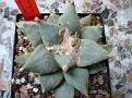 Ariocarpus retusus v. furfuraceus ( Ariocarpus furfuraceus )