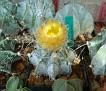 Astrophytum capricorne White spines