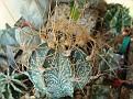 Astrophytum capricorne cv. crassispinoides ( Astrophytum crassispinoides )