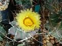 Astrophytum capricorne v crassispinum