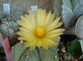 Astrophytum cv 'Hakugan'