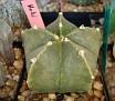 Astrophytum cv 'Hoki'