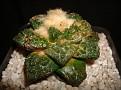Ariocarpus fissuratus var KIKKOUBOTAN GOZILA
