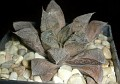 Haworthia cv. 'Chocolate'
