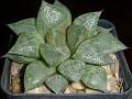 Haworthia breueri -IB640