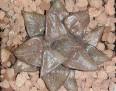 Haworthia comptoniana -b