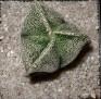 Astrophytum myriostigma tricostatum (b)