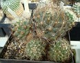 Coryphantha neglecta