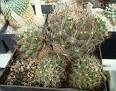 Coryphantha neglecta