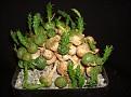 Euphorbia globosa - S. Africa