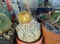 Astrophytum asterias hybrid cv V-pattern OOIBO