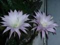 Echinopsis oxygona