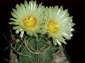 Astrophytum senile v.aureum