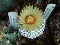 Astrophytum asterias cv snow supar
