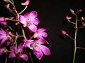Dendrobium Berry 'Oda'