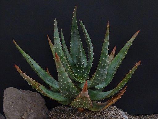Aloe aculeata 'Crous'