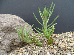 Senecio mweroensis v. leptophylla
