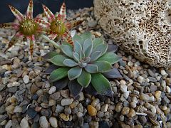 Graptopetalum rusby